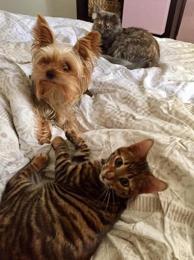 Toyger et chien muffin