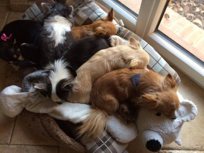 Toyger et chien ou est massai