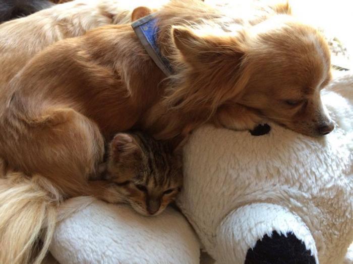 Toyger et chien